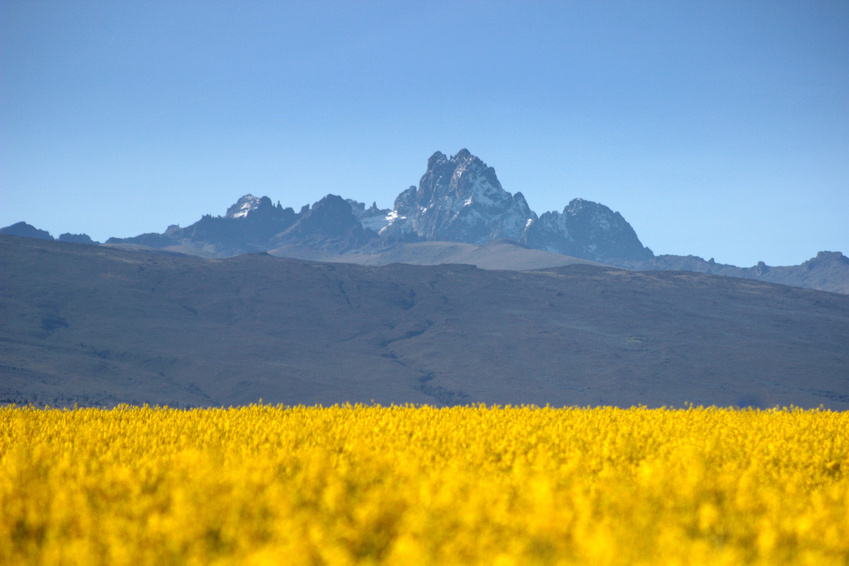 Mt Kenya with a canola field in the foreground