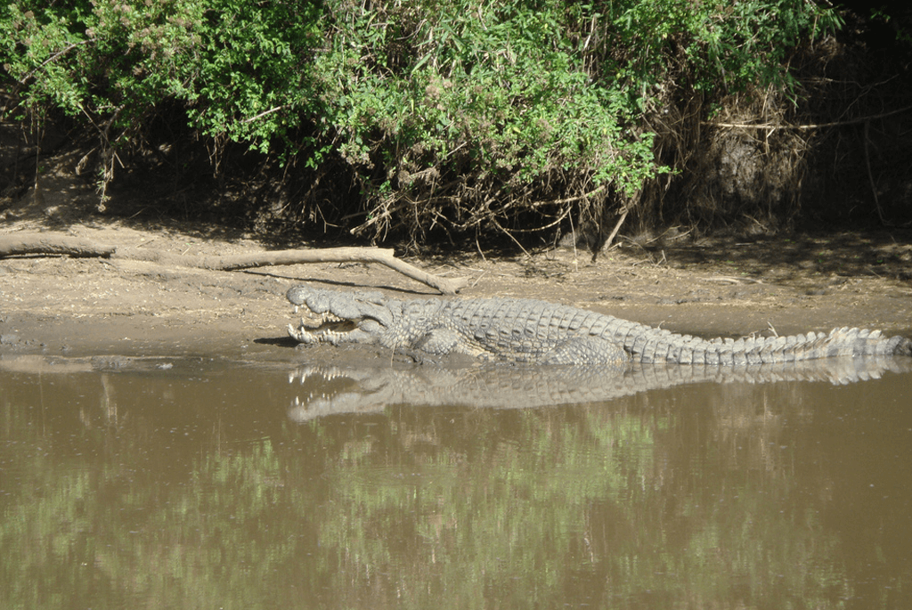 crocodile-serengeti