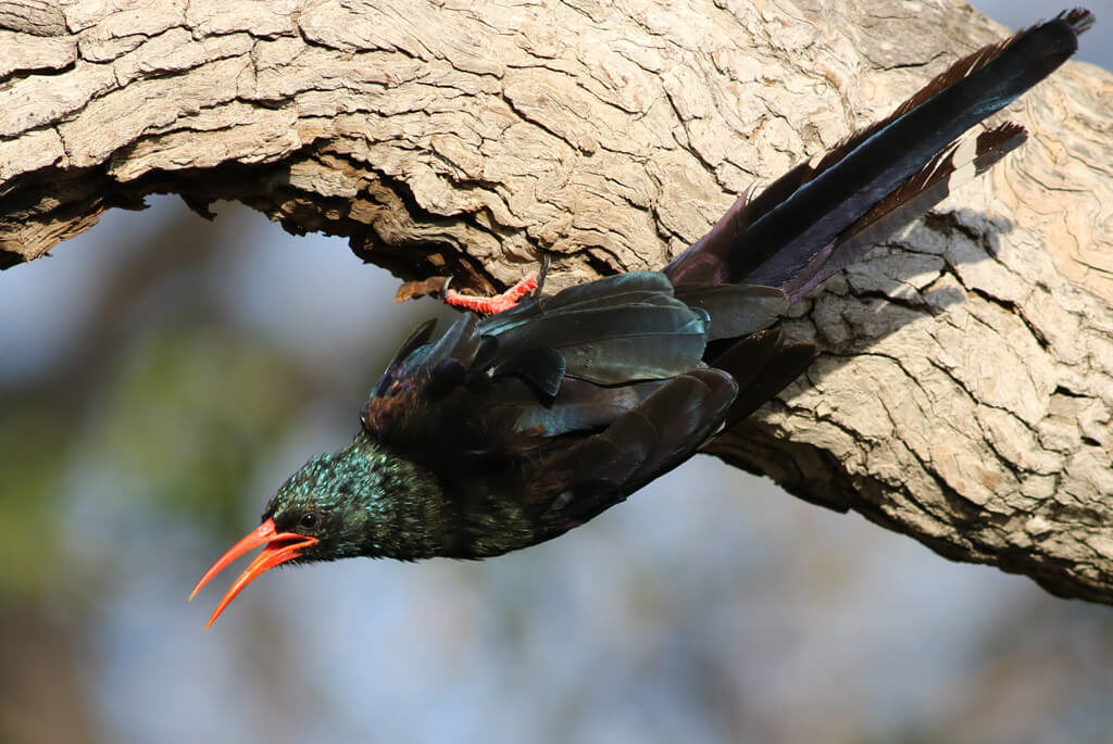 green wood hoopoe-mapungubwe-sydafrika-safari-fugl-flickr-1024x685