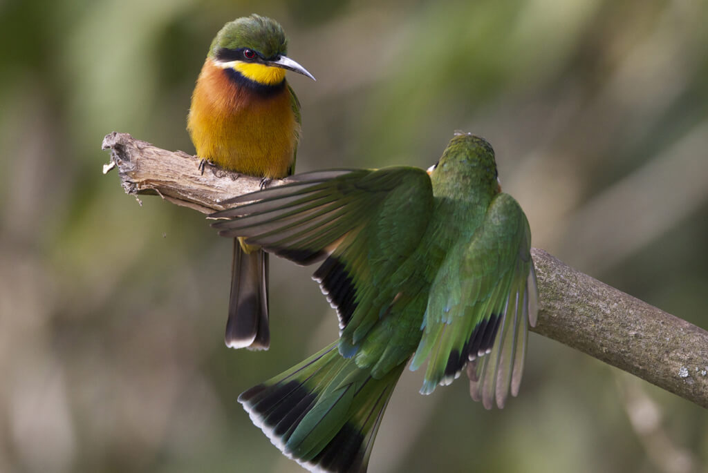 kilimanjaro.fugl.cinemon.chested.bee-eater