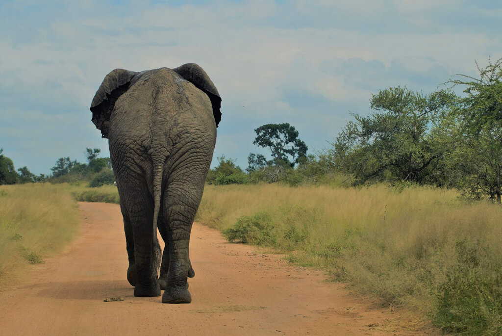 kruger-nationalpark-sydafrika-elefant