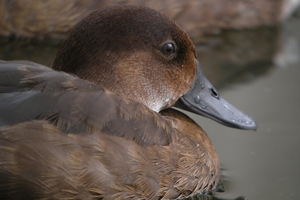 madagaskar-and-pochard