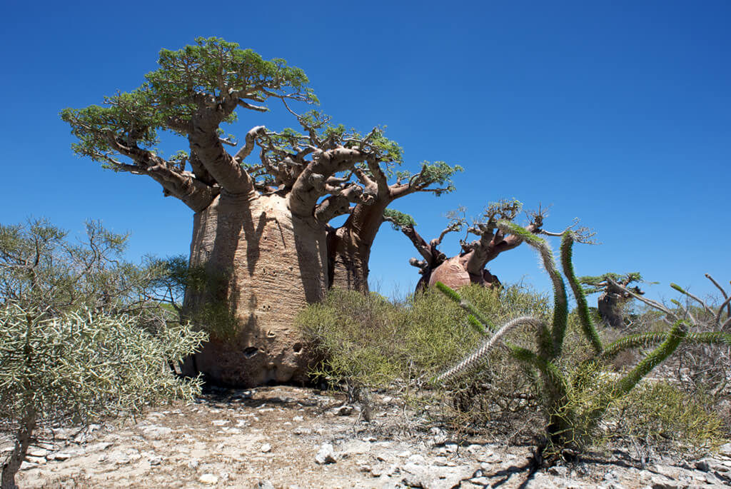 madagaskar-spiny-forest-baobab